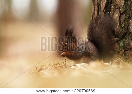 Sciurus vulgaris. The squirrel was photographed in the Czech Republic. Squirrel is a medium-sized rodent. Inhabiting a wide territory ranging from Western Europe to Eastern Asia.Animal in the wild. Beautiful picture of a rusty squirrel. Squirrel sitting