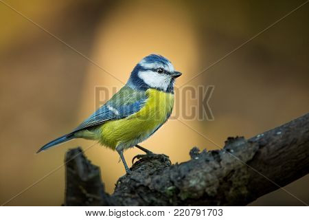 Cyanistes caeruleus. From bird life. Photographed in the Czech Republic. The wild nature of Europe. Free nature. Beautiful bird picture. Nature. Spring. Water.