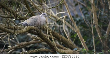 a lone grey pigeon bird sitting on a tree branch during day