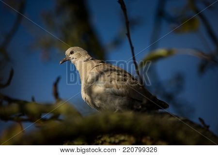 Streptopelia decaocto. The wild nature of the Czech Republic. Free nature. Bird on the tree. Sunny day. Beautiful picture. From bird life. Autumn. Nature. Expanded in Europe.