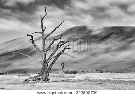 A lonely tree skeleton at Deadvlei near Sossusvlei, Namibia. Monochrome
