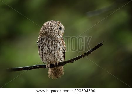 Strix aluco. It occurs in the Czech Republic. Free nature. The wild nature of the Czech Republic. Beautiful image of the owl. From Owl's Life. Owl on the tree. Black eyes.