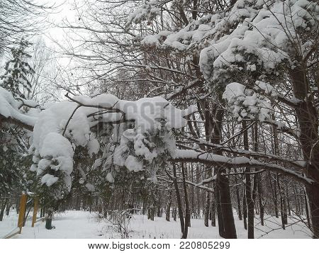 The Thick Layer Of Snow Lies On The Branches Of Trees. After A Snowfall.