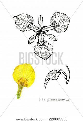 Yellow iris. Scientific name: Iris pseudacorus. Garden flower. Hand drawn botanical sketch isolated on white background.