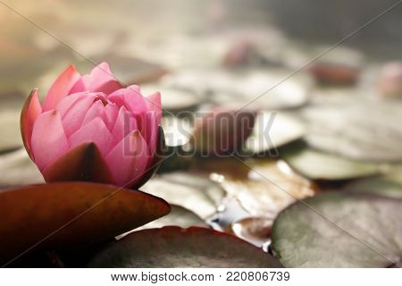 pink water lily blossom on pond with lotus leafs in bright sunny light mood - background blankend out blurry - copy space for inspirational text