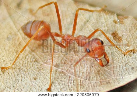 Macro of ant (Red Ant or Green Tree Ant)