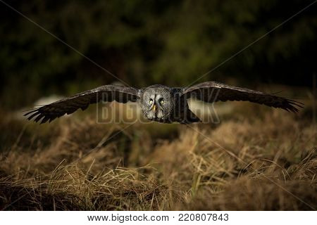 Strix nebulosa. Owl is spread in Scandinavia. In North Asia and North America. Beautiful picture. Nature of the North. Scandinavia. Europe. Free nature. From Owl's Life. poster
