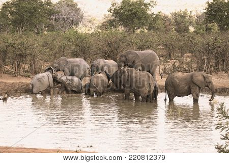 A family group of elephants enjoy a late afternoon drink and wallow at waterhole.