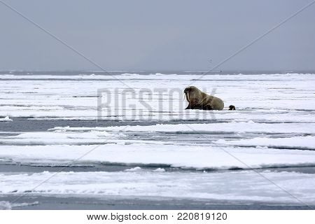 One Walrus on the Ice and one Looking up from a Hole in the Ice, outside Spitsbergen. Svalbard, Norway