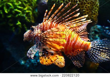 Lionfish sea ​​fish in aquarium in thailand