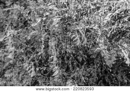 Black And White Dusty Miller Plant