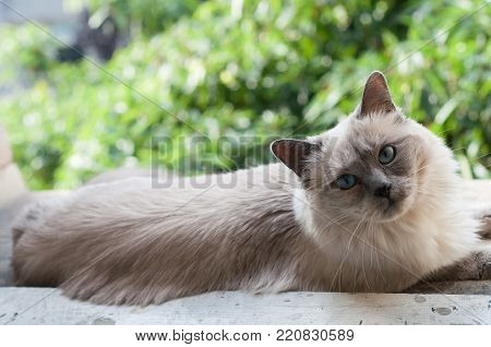 Beautiful, ragdoll cat, lounging on window sill, looking into camera, with trees in background