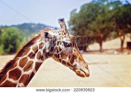 Young giraffe, looking intensely, into camera, with nature background, at Safari West, Santa Rosa, California.