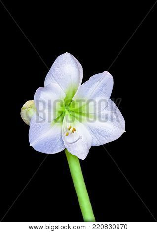 white lily on a thick green stalk with yellow stamens and drops of dew on a black background