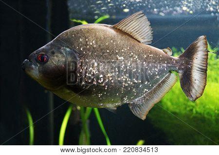 Extremely predatory fish from South America piranha (Pygocentrus nattereri)