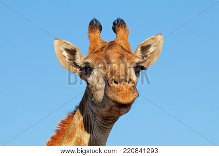 Portrait of a giraffe (Giraffa camelopardalis) against a blue sky, South Africa