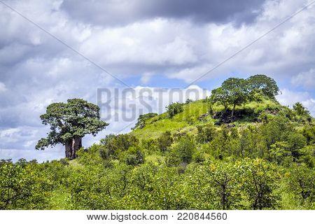 Baobab tree scenery in Kruger national park, South Africa ; Specie Adansonia digitata family of Malvaceae