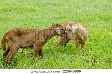 Two new-born lambs nuzzle each other in the wet grass of a pasture in Tobago, Trinidad and Tobago.  The sibling black belly sheep still have the remnants of their umbilical cords.