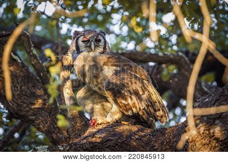 Verreaux's giant eagle-owl in Kruger national park, South Africa ; Specie Bubo lacteus family of Strigidae poster