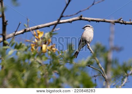 Red-backed shrike. Lesser grey shrike or Lanius minor perches on a branch of a tree. Ukraine, 2017.