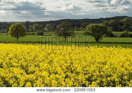 golden field of blossoming rape with blue sky landscape of Germany - plant for green energy and oil industry