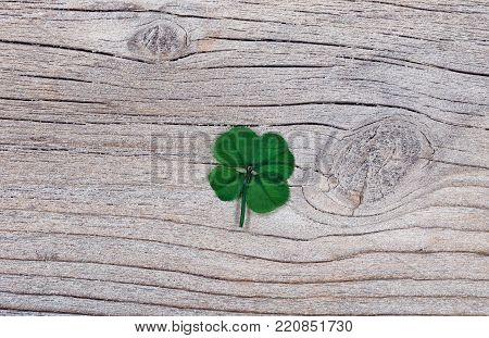 Real four leaf clover on rustic wooden background