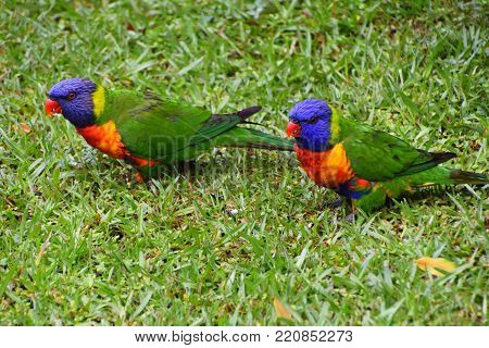 Rainbow Lorikeets eating seeds in the grass