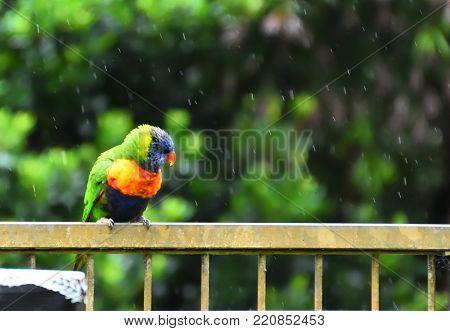 A single rainbow lorikeet on a fence in the rain