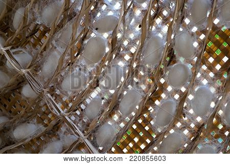 group of silk worm cocoons nests and background