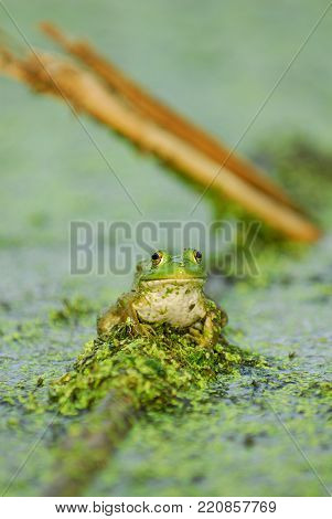 A large green bullfrog staring directly back at the camera lens while sitting in a bog.