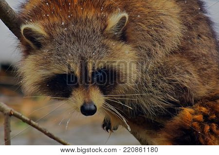 Juvenile racoon (Procyon lotor) hanging on a branch over a river
