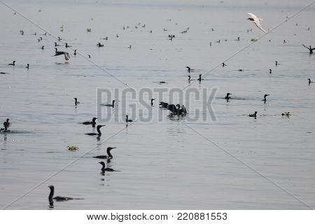 group of Ubiquitous Cormorants birds in backwater