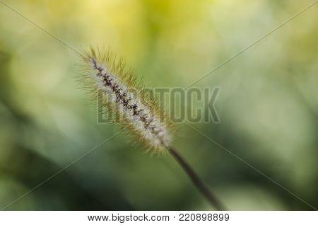foxtail weeds, Hameln grasses, Setaria viridis, summer macro closeup