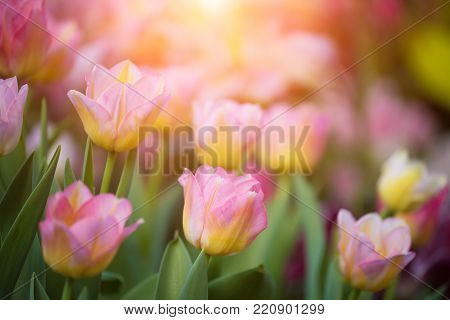 Blurred background image of Tulip, Pink flower tulip lit by sunlight
