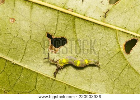Close Up Top View Caterpillar Of Common Pasha Butterly ( Herona Marathus ) Resting On Leaf