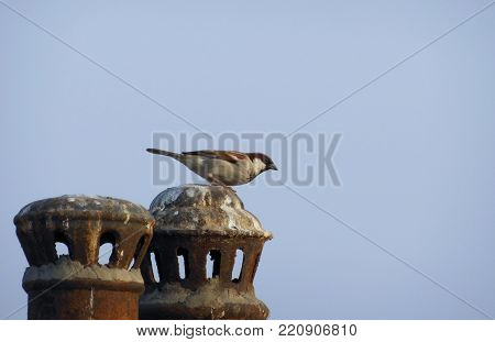 small beautiful male house sparrow Passer domesticus sitting on a pole blue sky