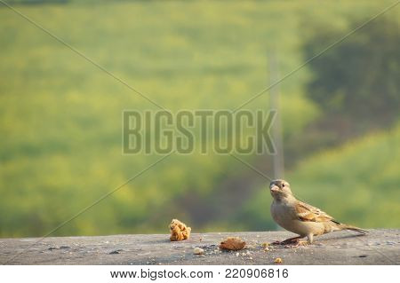small beautiful female house sparrow Passer domesticus sitting on a wall feeding