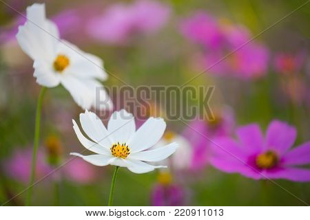 Blurred of cosmos flowers with soft blur in the pastel color for background.