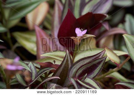 Flower of Tradescantia zebrina, also knwon as Zebrina pendula, inchplant or wandering jew.