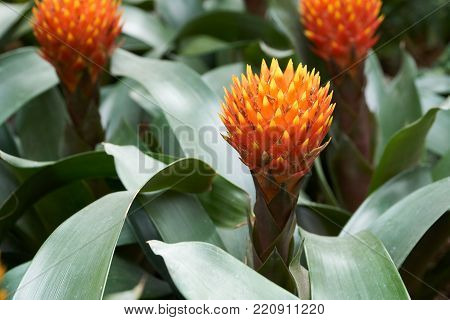 Guzmania Conifera. Guzmania is a genus of over 120 species of flowering plants in the family Bromeliaceae.