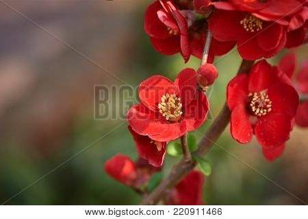 Chaenomeles lagenaria is a semi-evergreen shurb native to eastern Asia. Its flowers are usually red and It is also called flowering quince, chinese quince or Japanese quince.