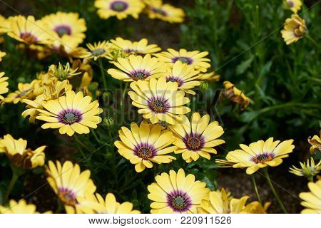 Osteospermum, also called African Daisy, Cape Daisy or Blue-eyed daisy, is a genus of flowering plants in the Calenduleae tribe.
