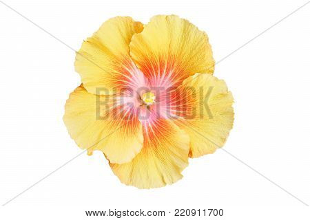 isolated Hibiscus flower. Hibiscus is a genus of flowering plants in the mallow family. The genus is comprising several hundred species.