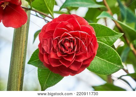 Closeup of a flower of Camellia japonica, which is commonly knwon as camellia or rose of winter.