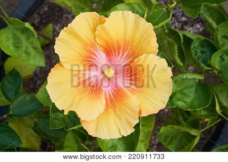Hibiscus flower. Hibiscus is a genus of flowering plants in the mallow family. The genus is comprising several hundred species.