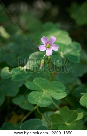 Flower of Oxalis corymbosa DC, which is also known as wood sorrels, false shamrocks or sourgrasses.