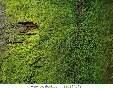 Moss texture. Moss background. Green moss on grunge texture, background