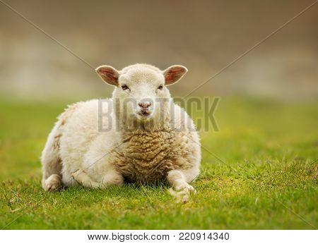 Young Shetland sheep (lamb) lying on the grass, UK.