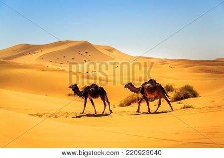 A Couple Of Dromedaries Walking In The Middle Of A Sandy Desert On A Sunny Day