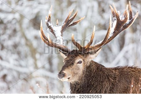 Single adult noble deer with big beautiful horns with snow on winter forest background. European wildlife landscape with snow and deer with big antlers